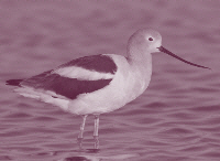 picture of avocet